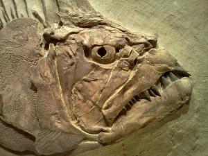 fish-fossil