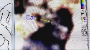 ucho wielkiej stopy