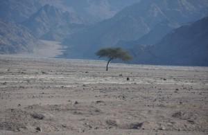 lone-tree-in-the-sinai-desert-sharm-el-sheikh-egypt+1152_12917662845-tpfil02aw-17036